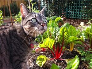 Smudge in my veggie garden back home.