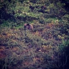 Arctic Hare. Tundra Buggy Adventure Churchill, Manitoba.
