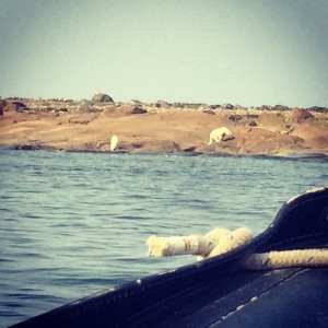 Another mother & cub.  Beluga whale snorkelling.  Churchill, Manitoba.