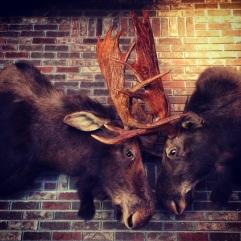 Mounted moose.