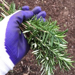 Rosemary cuttings.
