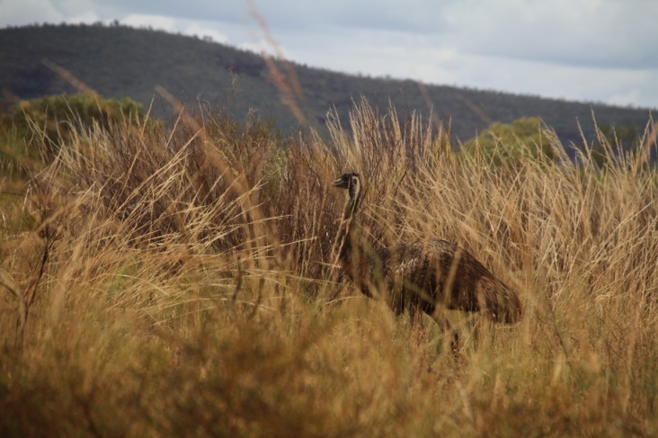 Emu. Karijini, Western Australia.