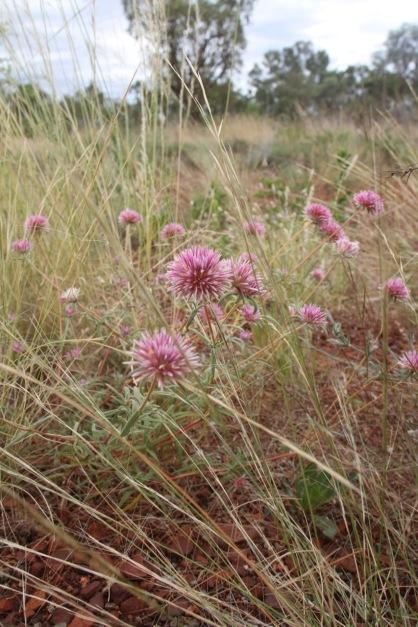 Flowers. Karijini, Western Australia.